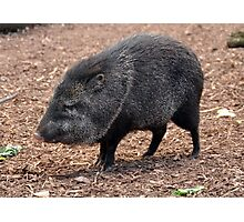 Cool Collared Peccary Photographic Print