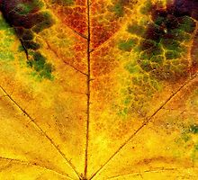 Detailed Fall Maple Leaf Texture 3 by AnnArtshock