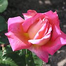 Hot Pink Rose #6 by Sandra Gray