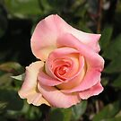 Pale Pink Yellow and White Rose #9 by Sandra Gray