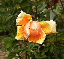 Abstract Peach Rose  #12 by Sandra Gray