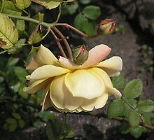 Pale Yellow Hanging Rose #15 by Sandra Gray