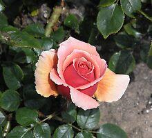 Peachy Pink Strange Rose #16 by Sandra Gray