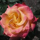 Red Edged Yellow Rose  #17  by Sandra Gray