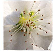 Ornamental pear blossom Poster