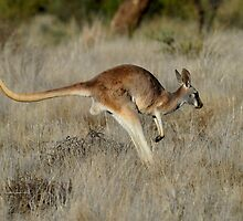 Red Kangaroo - Cunnamulla in Western Queensland by Alwyn Simple