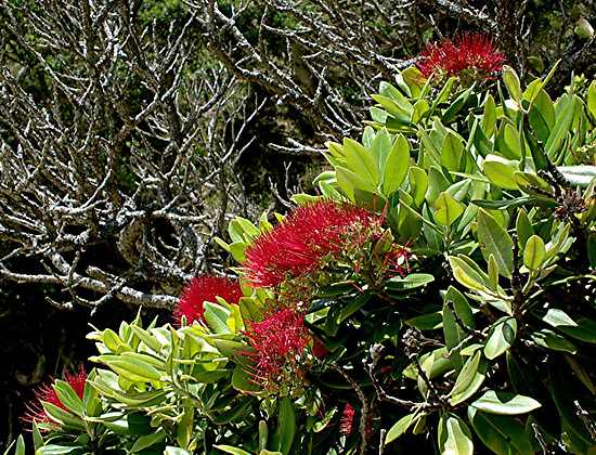 Flowering Pohutukawa.......! by Roy  Massicks