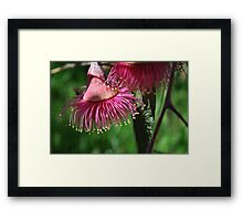 Oz in Spring: Gumnuts and Eucalyptus Leaves! Framed Print
