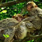 Three Barbary Ape Macaque buddies by anjafreak
