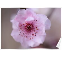 Cherry Blossom Springtime Blooming Poster
