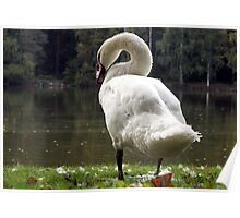 Mute swan close-up Poster