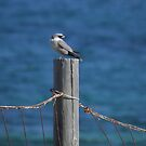 Black-faced Woodswallow (Artamus cinereus) - Lowly Peninsula, South Australia by Dan & Emma Monceaux