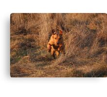 Sandy, on the run.... labrador retriever Canvas Print