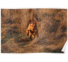 Sandy, on the run.... labrador retriever Poster