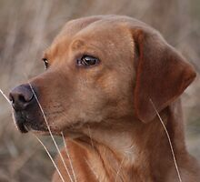 Good old Troy! a fine looking working labrador by michaelwallwork
