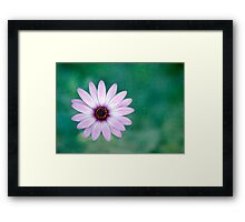 Just One - purple daisy Framed Print