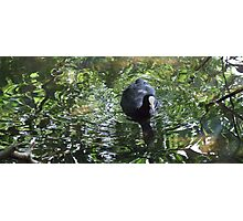 Duck In Green Soup Photographic Print