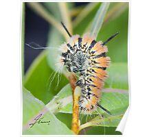 Fingered Dagger Moth Acronicta dactylina Caterpillar Poster