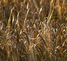 Barley by AlexanderFord