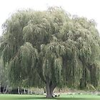 Weeping Willow by dilouise