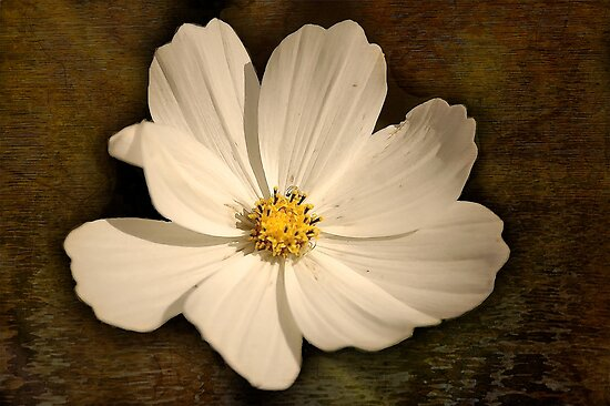 Cosmea..  by Mike  Waldron