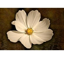 Cosmea..  Photographic Print
