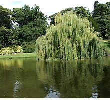 Willow Pond Photographic Print