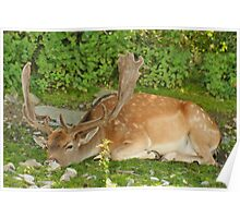 Resting after the Rutting Season Poster