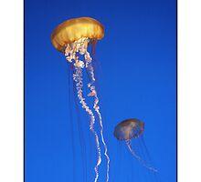 Floating Sea Nettles by bigxstudio