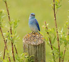 Mountain bluebird portrait by Trish Sweett