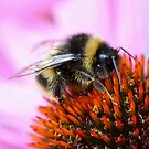 Bumblebee on a flower by SunshineSong