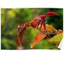 Dewy Rose Leaves ~ September Morning Poster