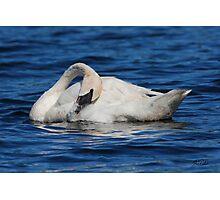 White Swan Photographic Print
