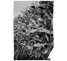 Corn Cropping Poster