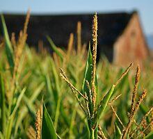 The Corn Barn by Sheri Bawtinheimer