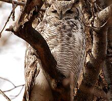 Great Horned Owl Portrait by Trish Sweett