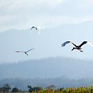 Big Bird - Jabiru in flight by Jenny Dean