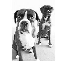 What Do You Mean She's Standing Behind Me -Boxer Dogs Series- Photographic Print