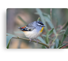 Spotted Pardalote Canvas Print