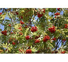 bunches of red rowan swaying Photographic Print