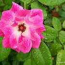 Raindrops on the Pink Passion Rose by Mechelep