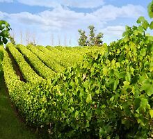 Vineyards. by skorphoto