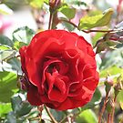 Red Rose #21 by Sandra Gray