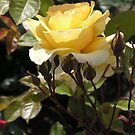 Pale Yellow Long Stemmed Rose #22 by Sandra Gray