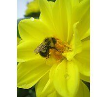 furry bee Photographic Print