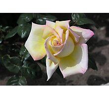 White Rose #24 Photographic Print