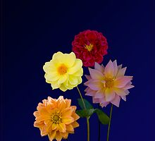 Dahlias Four by J-images