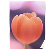 Dreamy peachy tulip in late afternoon light Poster
