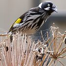 New Holland Honeyeater by Anne van Alkemade