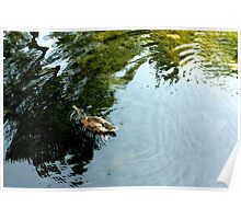 Duck on a Pond Poster